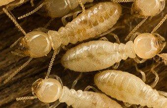 termites belleville il termites in home